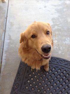 14 Weeks Old Labrador Retriever Golden Retriever Puppies