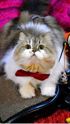 Kittens Cutest, Cats And Kittens, Cute Cats, Funny Animal Pictures, Funny Animals, Cute Animals, Pretty Cats, Beautiful Cats, Mama Cat