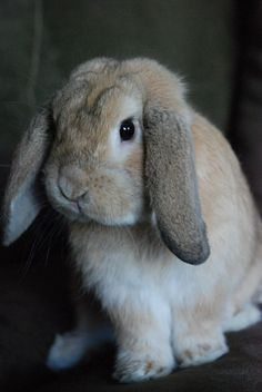 an adorable house rabbit... love...it looks so soft, I just wanna squeeze it!