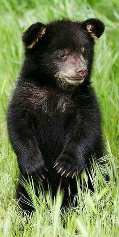 Baby black bear