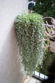 Dichondra srebrzysta Plants, Balcony, Flora, Plant
