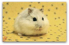Which Hamster Is Right for You? | Pawsitively Pets