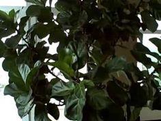 Caring for Ficus lyrata