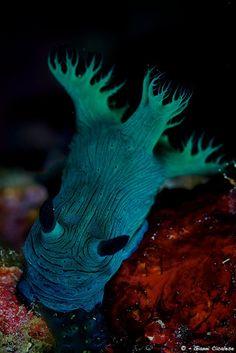 Nembrotha milleri--nudibranch.