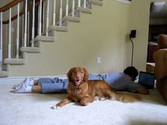 Awww Golden Retrievers are the smartest dogs EVER!! I miss my chancie =)