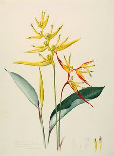 Margaret Mee, 1964 Heliconia