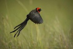 Male Red-collared Widowbird (Euplectes ardens) by Krzysztof Błachowiak. This widowbirds is found in grasslands and bush clearings in Eastern and Southern Africa.