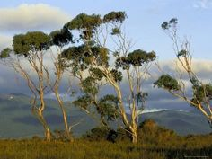 Eucalyptus tree is one of the most common trees in Australia. Here is some information about Australian gum tree and other types of eucalypts found in Australia. Landscape Art, Landscape Paintings, Landscape Photography, Nature Photography, Landscapes, Oil Paintings, Animal Photography, Wilsons Promontory, Australia Landscape