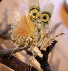 devil's flower praying mantis