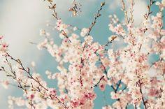 cherry blossom tree. #cherry #blossom #tree #japanese