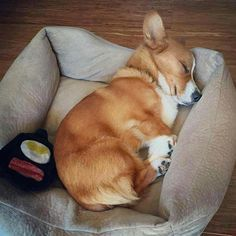 The traits we all like about the Small Pembroke Welsh Corgi Dogs pembroke welsh corgi facts Cute Corgi Puppy, Corgi Dog, Cute Puppies, Pet Dogs, Dog Cat, Cutest Puppy, Pets, Teacup Puppies, Lab Puppies