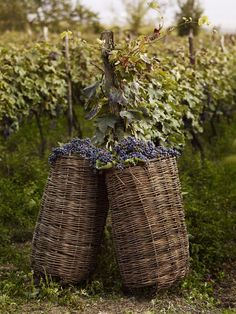 Harvesting wine grapes in Georgia, with hand woven willow baskets
