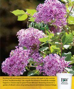 Bloomerang reblooming Lilac Series