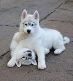 White husky puppies - Just like our Bear