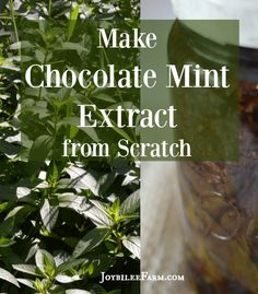 You can make Peppermint Pattie mint extract with just three ingredients -- chocolate mint leaves, cacao nibs, and vodka. Use it in baking, gift it!