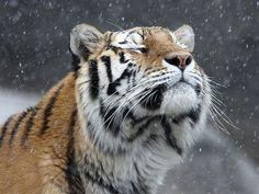 Tiger Pleasure