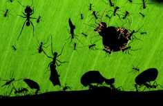 Leaf-cutter ants in a Costa Rican rainforest at night. The picture captures four activities: workers cutting holes, carrying bits of leaf back to the nest, tiny lookouts watching for parasitic flies and big soldiers on guard, all in perfect, contrasting detail. Photograph: Bence Máté/NHM
