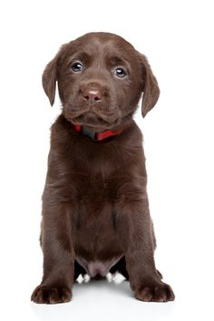 What to expect from your new Labrador puppy