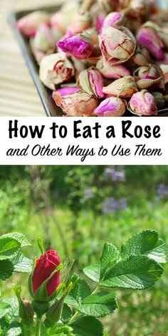 How to Eat a Rose and other ways to use them Roses are not only edible they re medicinal too They taste great in everything from drinks to dessert and homemade rose body products are great for the skin too # Edible Roses, Fingerfood Party, Edible Wild Plants, Growing Roses, Diy Garden, Herbs Garden, Roses Garden, Fruit Garden, Flower Food
