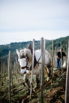 Working Horse at Domaine de Gouye in Rhone Valley France - Wine Tour of France's Rhone Valley