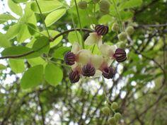Akebi (japanese name) /  Akebia quinata (scientific name)
