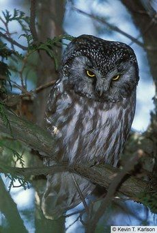 The menacing expression makes me think he knows whoooo's the murderer in this story!    Photo from Cornell Lab of Boreal Owl — Birds of North America Online