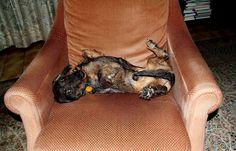 Vor der letzten Nacht in seinem Körbchen, ...  genehmigte sich Oskar heute noch ein Nachmittagsnickerchen auf dem Sessel. Morgen sind seine Ferien bei mir wieder beendet. Schnief. Muss ich wieder alleine durch Wald und Flur laufen. Aber ich hab ja meine Kameras. :-)