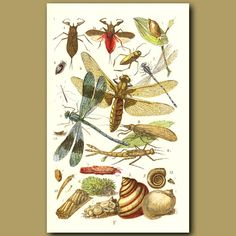 Water Scorpion, Water Boatman, Dragonfly