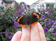 2014 Red Admiral butterfly
