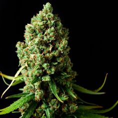 683 Best Medical Mary Jane images in 2019 | Cannabis, Weed