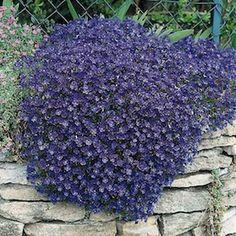 Rock Cress, Cascade Blue - Garden Seeds - Perennial Ground Cover Seeds