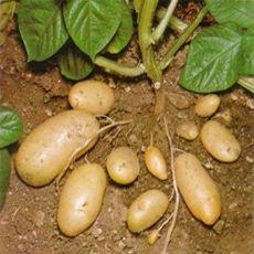 Cantv.net > Comunidad-Manual de cultivo: papa