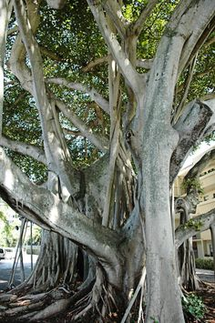 Old Banyan Trees in Delray Beach, Florida. Read the full post to find out what to see, where to eat, and what to do while you're on vacation.