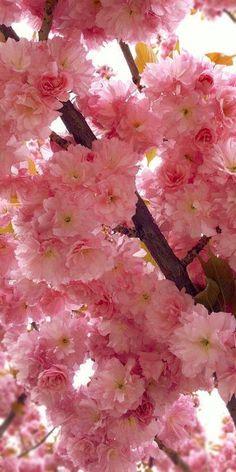 Fresh Cherry Blossom Clicks