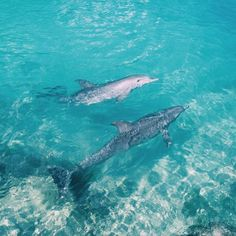 dolphins in the carribean sea, JAMAICA