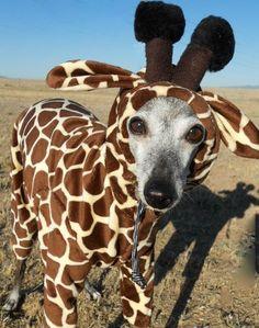little giraffe ( Etsy:: http://www.etsy.com/listing/75967272/petite-giraffe-pet-costume-have-your-own# )