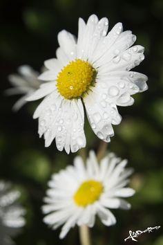 Lovely daisy in my garden in a winter rainy day