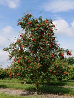 SOR - benedentuin - sorbus aucuparia Seaside Garden, Street Trees, Garden Types, Forest House, Types Of Soil, Autumn Trees, Small Gardens, Rowan, Country Life
