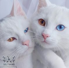 Pretty eyes: Meet twin cats Iriss and Abyss who have heterochromatic eyes...