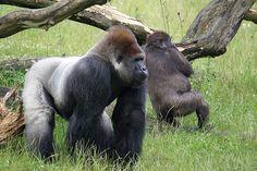 il wwf e la difesa dei gorilla