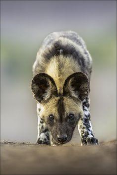Un licaón, también conocido como perro salvaje africano, lobo pintado, perro hiena o perro cazador de El Cabo, por Georg Scharf