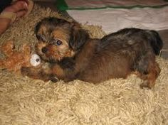 Our Taz! He's a shorkie