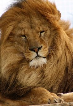 Big Golden Lion