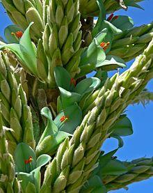 Puya chilensis - Wikipedia, la enciclopedia libre Fauna, Plants, Flora, Plant