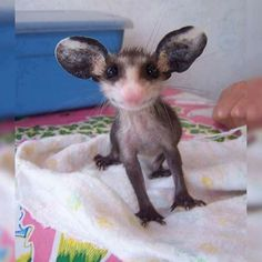 a baby possum! - Wow - Wow images - a baby possum! The post a baby possum! appeared first on Gag Dad. Cute Creatures, Beautiful Creatures, Animals Beautiful, Cute Baby Animals, Animals And Pets, Funny Animals, Cute Small Animals, Baby Opossum, Cute Animal Drawings