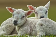 Photo Cute Lambs by Friedhelm Peters on 500px