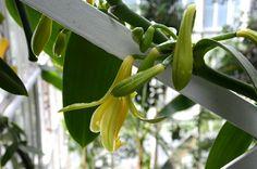 Vaniljan kukkia ja lyijykynäpölytystä