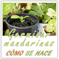 #DIY Germina mandarinas en tu casa fácilmente.  Vídeo- tutorial en este enlace;  https://youtu.be/-4D07lwfLIw