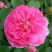 Rosa 'Portmeirion'