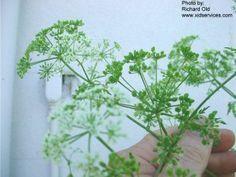 Survival skills video: Avoid this deadly poison hemlock plant